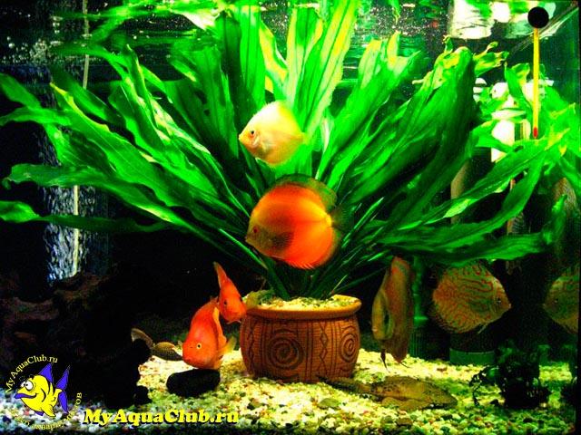 Какие аквариумные растения можно выращивать в горшочках?