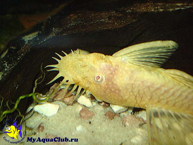 Анциструс мультиспиннис (Ancistrus multispinnis)
