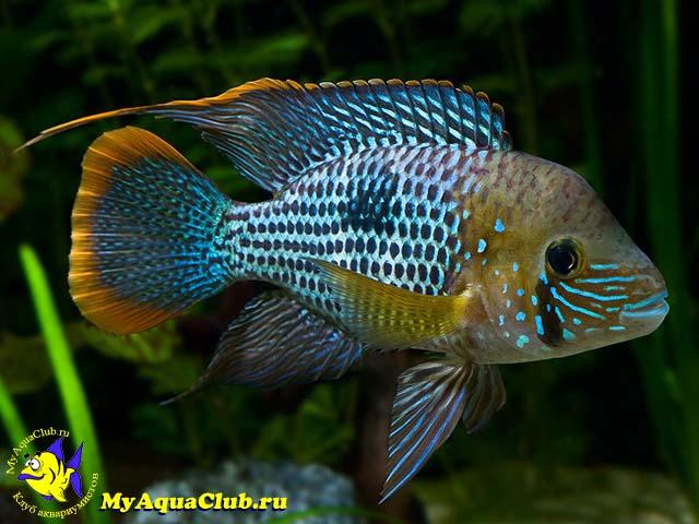 рыбки аквариумные цихлиды фото