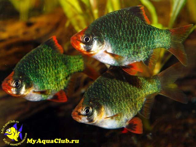 барбусы рыбки аквариумные фото