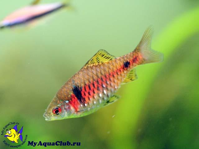аквариумные рыбки барбусы фото и названия