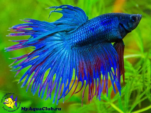 петушок фото рыбки