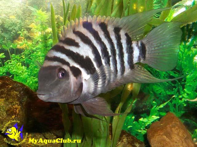 аквариумные рыбки цихлиды африканские фото с названиями #7