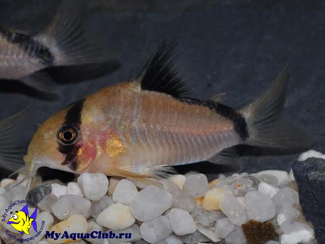 Рыбки сомики уход и содержание