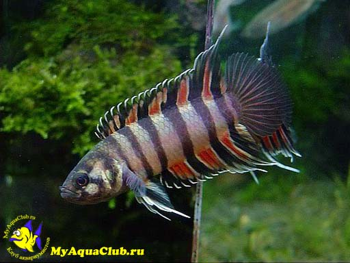 Microctenopoma ansorgii is a small freshwater fish known for Small freshwater aquarium fish