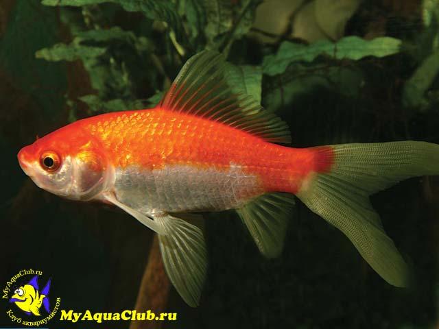 аквариумные рыбки фото и описание петушки