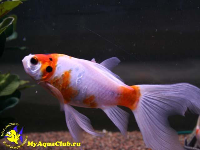 аквариумные рыбки фото и описание петушки #11