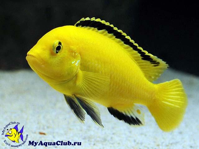цихлида аквариумная рыбка фото