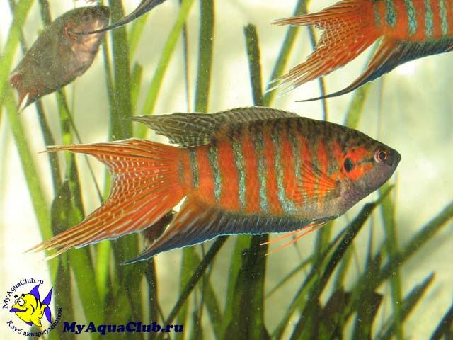 Райские рыбки склонны к агрессии в