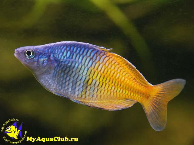 радужницы аквариумные рыбки фото с названием