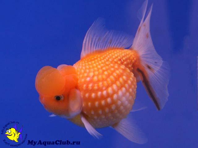 аквариумные рыбки фото и описание петушки #10