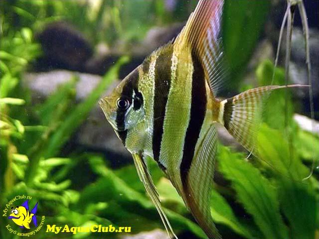 болезни аквариумных рыбок картинки