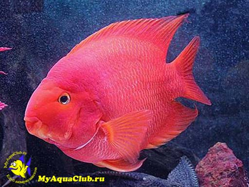 for Red parrot fish