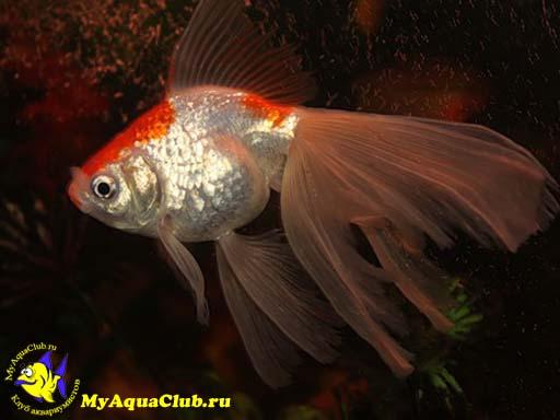 золотая рыбка-вуалехвост фото