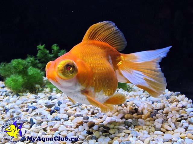 Золотая рыбка - Телескоп (Telescope Goldfish)   480x640