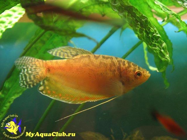скринсейвер золотые рыбки: