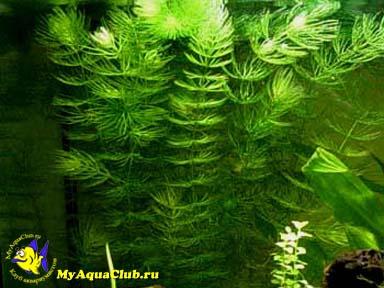 фото роголистник растение