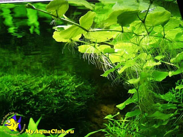 гидрокотила виды с фото в биотопе данные погоде