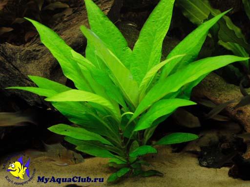 фото аквариумное растение лимонник